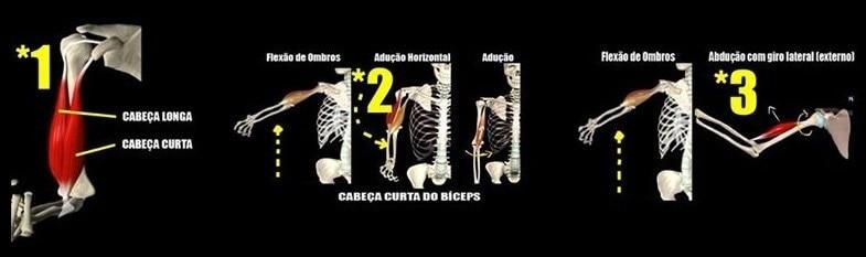 Bíceps Braquial (1)