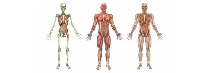 anatomia-corpo-humano