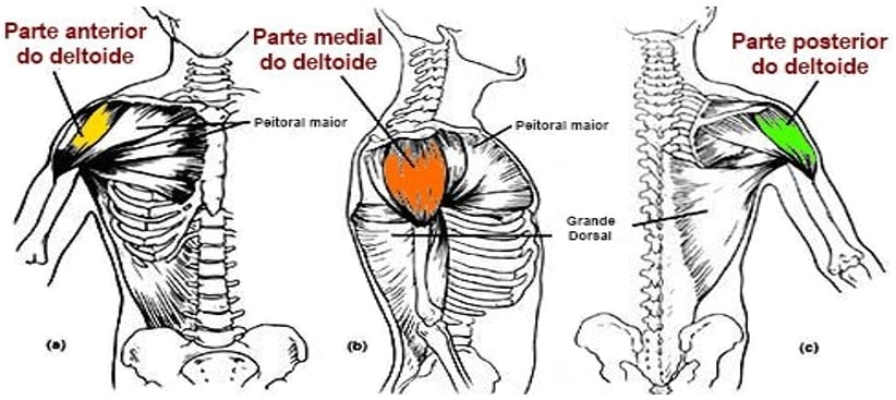 três porções do deltoide