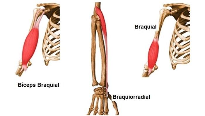 Rosca Direta Musculos Braço