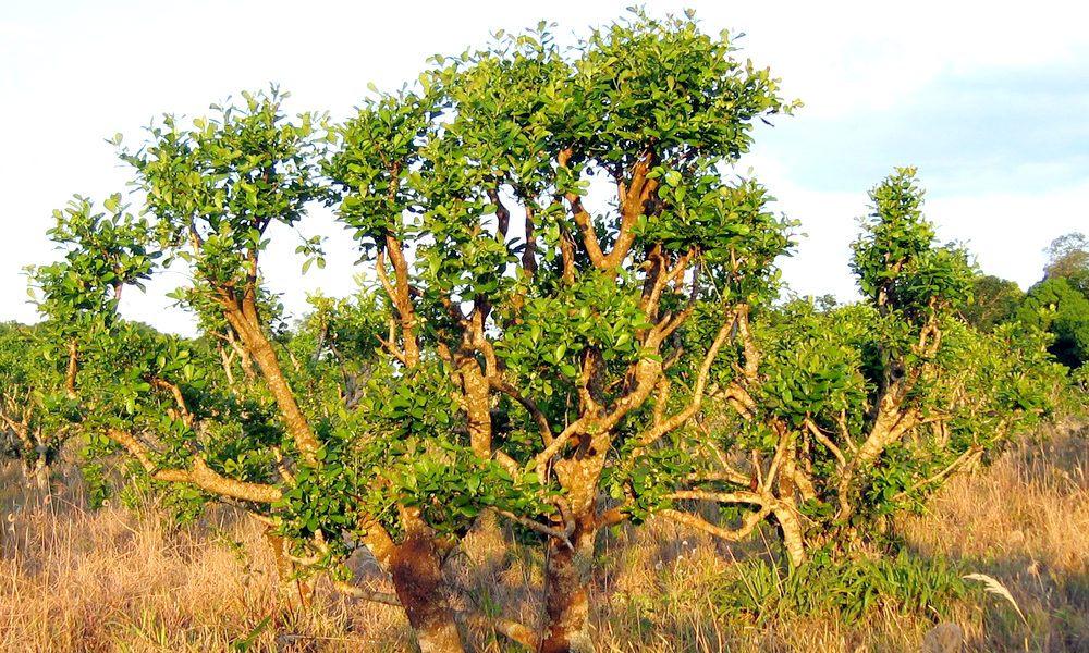 árvore Ioimbina yohimbe Pausinystalia johimbe